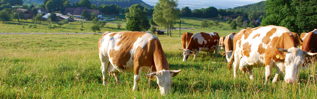 Ziegelhütte Kirchheim Kühe und Feld